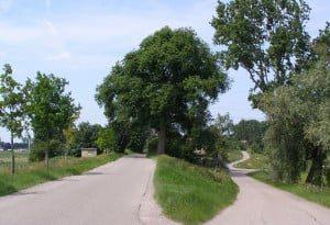 In de Hoeksche Waard staan nog op flink wat plekken mooie, vooroorlogse iepen. Sommige van deze bomen zijn inmiddels rond de 90 jaar oud.