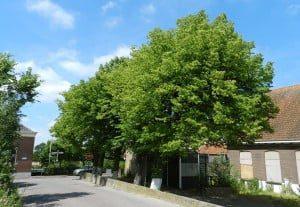 De leeftijd van (oude) bomen wordt soms weleens te voorzichtig ingeschat, waardoor deze bomen de 'monumentale status' mislopen. De leilinden bij de Posthoorn in Puttershoek bleken b.v. veel ouder dan gedacht.