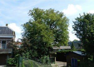 Dankzij oude ansichtkaarten kwam aan het licht dat de linde in Heinenoord één van de oudste solitaire linden van de regio is.  (Foto: Arie Pieters/'Fraxinus Excelsior'©)