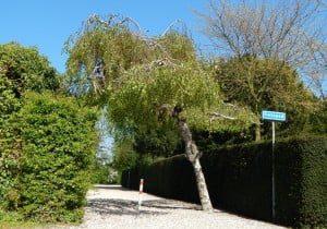 Volgens oudere inwoners van Puttershoek was het opvallende boompje minstens 70 jaar oud. (Foto zomer 2014)